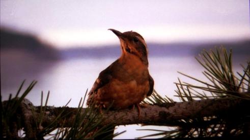 Twin_Peaks_Bird_opening-credits
